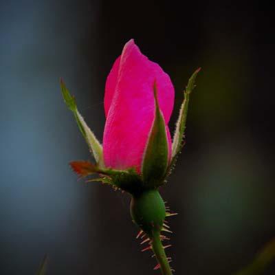 Rose Bud